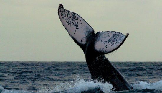 observation-baleines-colombie
