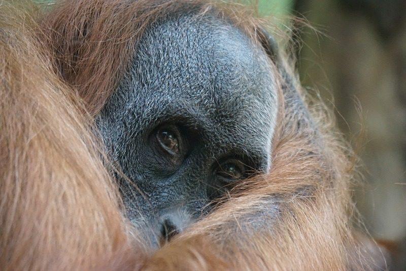 Un orang outan à Sumatra