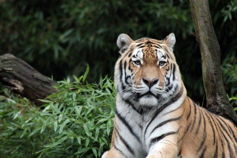 sumatra-tigre_indonesie