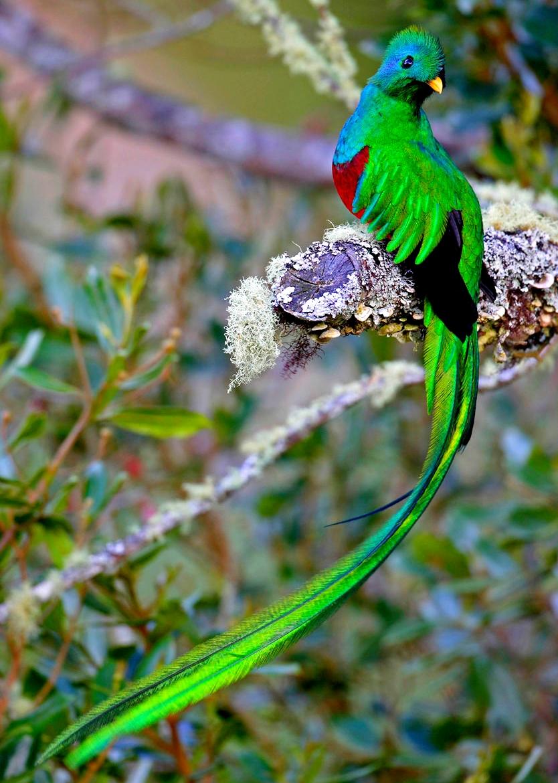 le quetzal emblème du guatemala