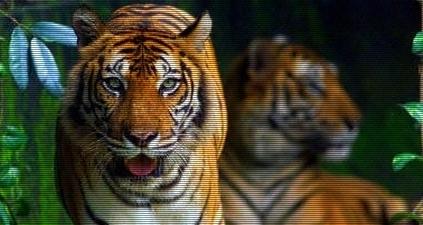 voyage-indonesie_tigre_sumatra