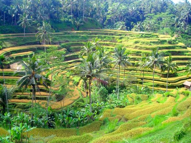 voyage bali, rizières d'Ubud