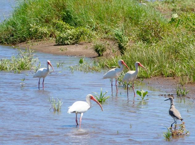 birdwatching, cano negro, costa rica