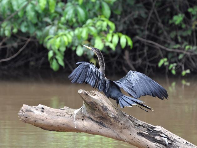 cormoran, visite de cano negro, voyage costa rica