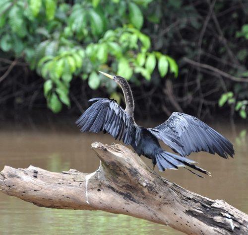 voyage-costa-rica-cano-negro-cormoran-2