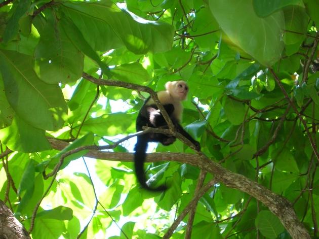 côte pacifique costa rica singe capucin manuel antonio