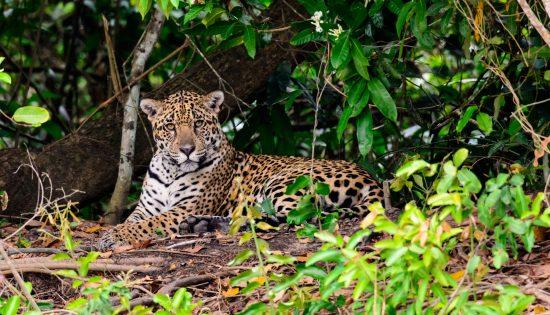 Close up of a Jaguar in the bush