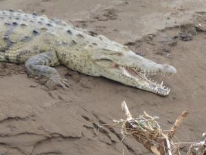 Crocodiles Tarcoles