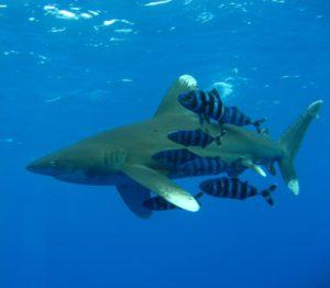 Requins pointe blanche - plongée
