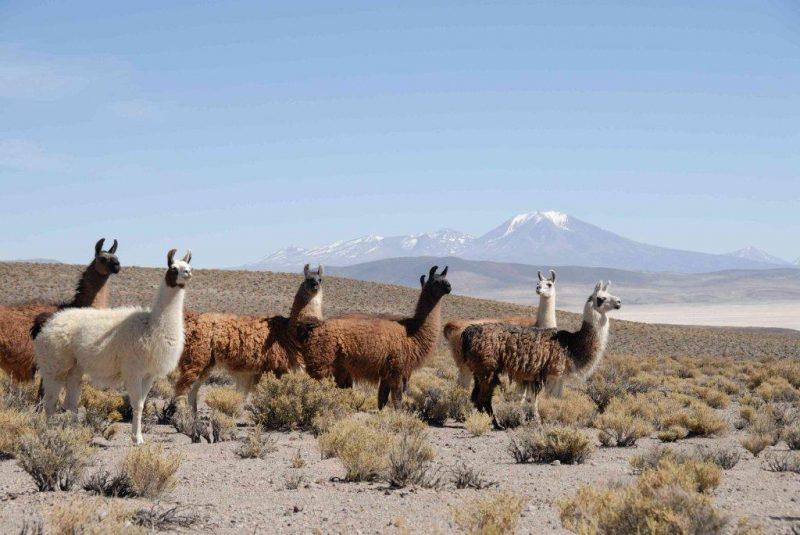 Lamas sur les plateaux andins