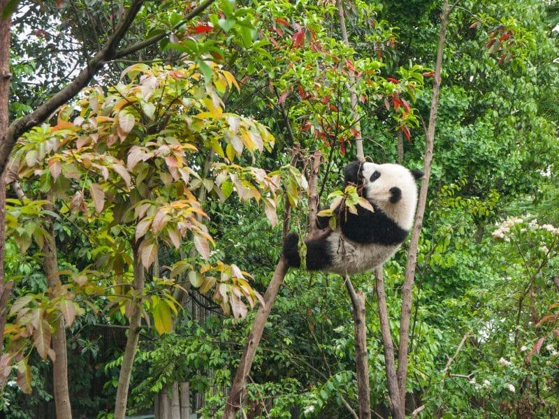 bebe-panda-chengdu