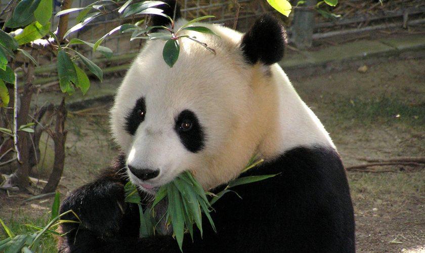 d couvrez le panda g ant de chine le blog ja pur voyage. Black Bedroom Furniture Sets. Home Design Ideas
