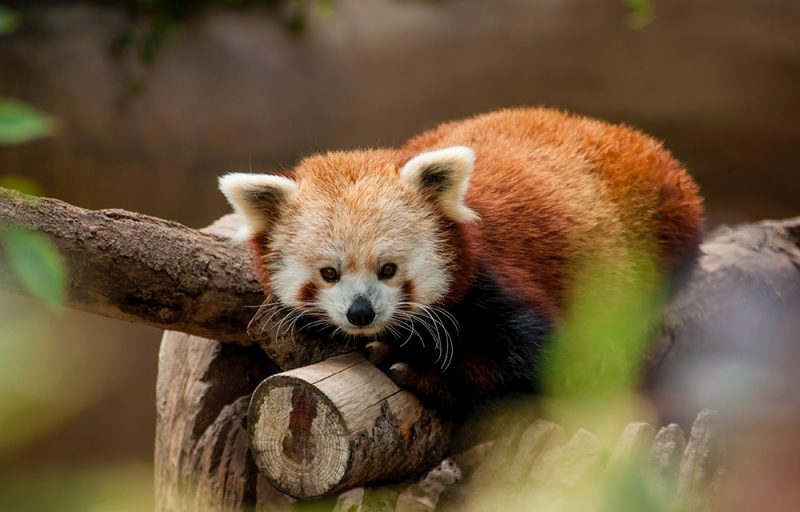panda roux chine visite