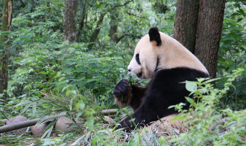 panda-sichuan