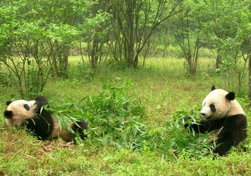 pandas-sichuan-chengdu