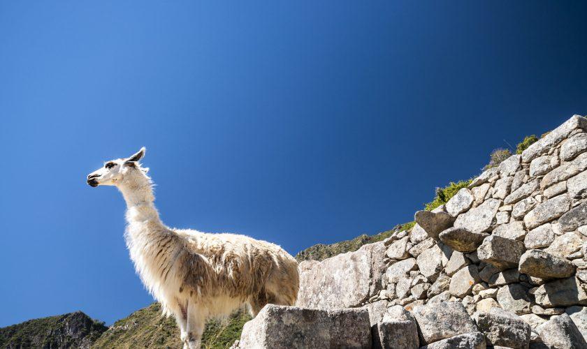 llama standing in Macchu picchu ruins