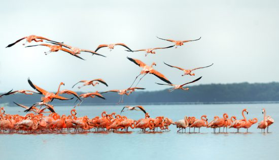 flamants roses celestun mexique