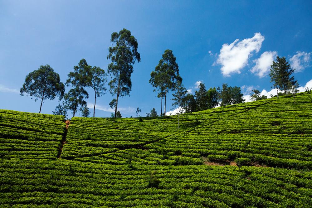 Une plantation de thé au soleil, il fait bon vivre !
