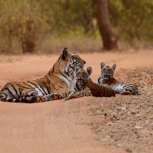bandhavgarh-tigre–272715-unsplash