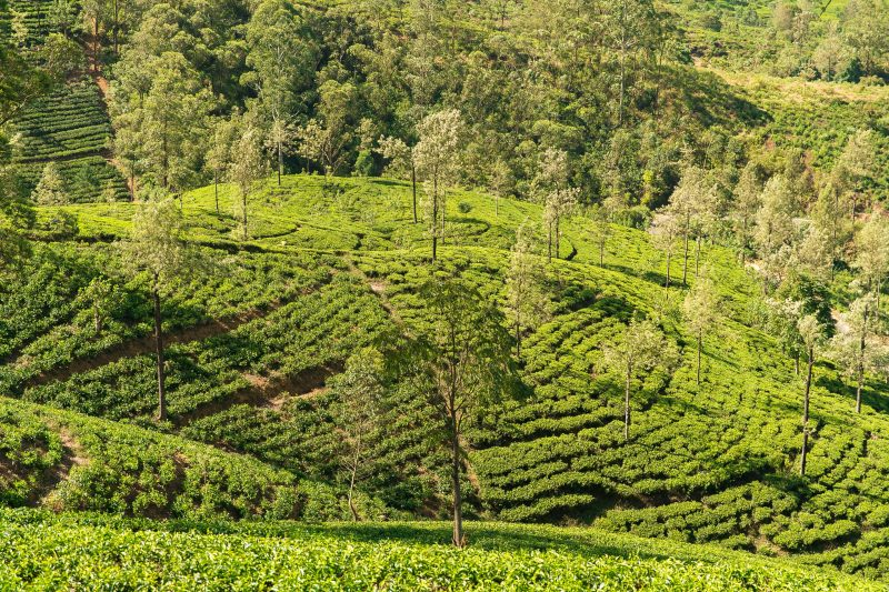 Tea_Plantation_Nuwara_Eliya_Sri_Lanka