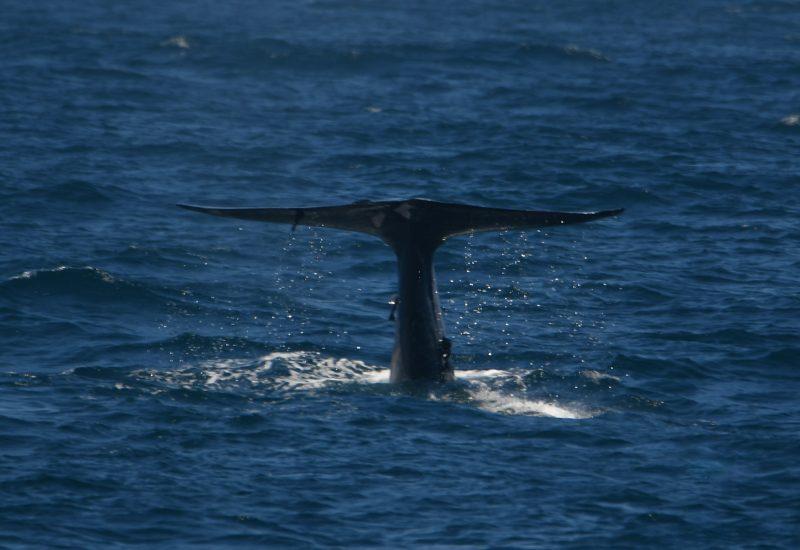 Une baleine au large du Sri Lanka