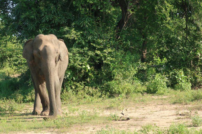 Un éléphant à Udalawae, Sri Lanka