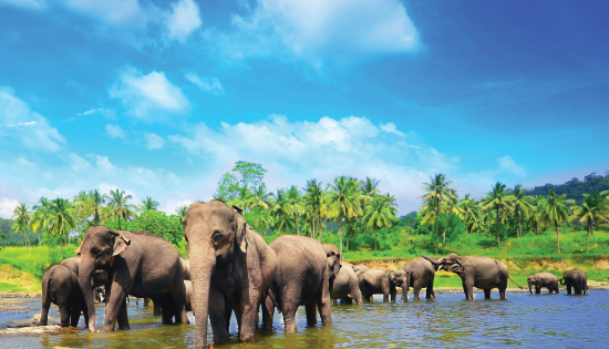 pinnawela_elephants_fotolia
