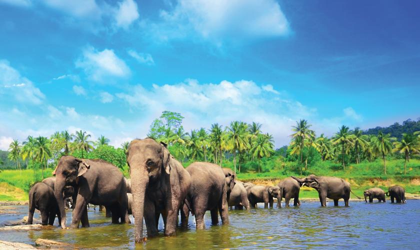 pinnawela_elephants_fotolia