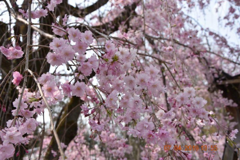 cerisiers en fleurs Japon