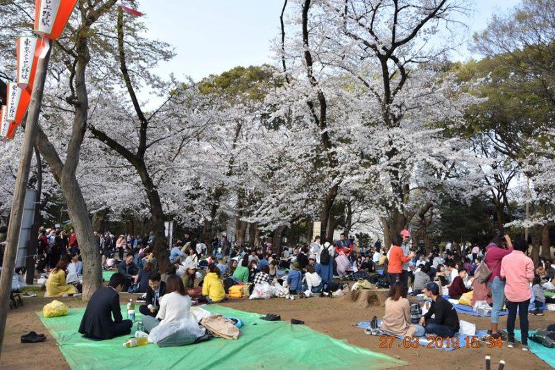 pique-nique sous les cerisiers en fleurs Japon