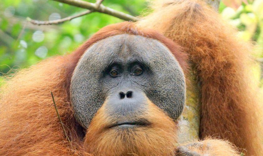 Sumatra_Mutin_orang_outans3