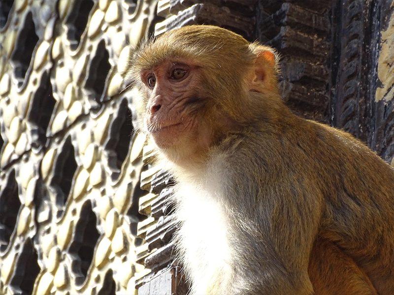 Swayambunath, le temple aux singes à Patan