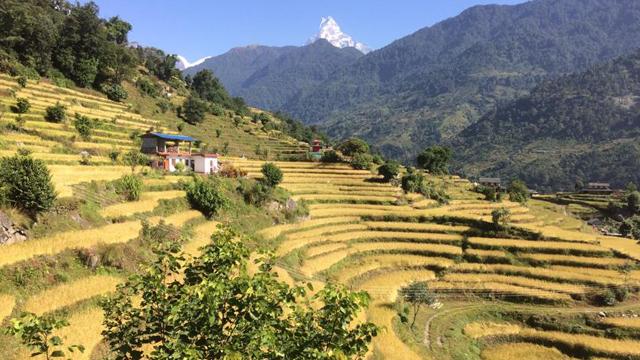 Les rizières en terrasse de Gandruk (vers Pokhara) au Népal