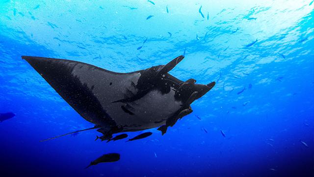 indonesie raie manta plongée