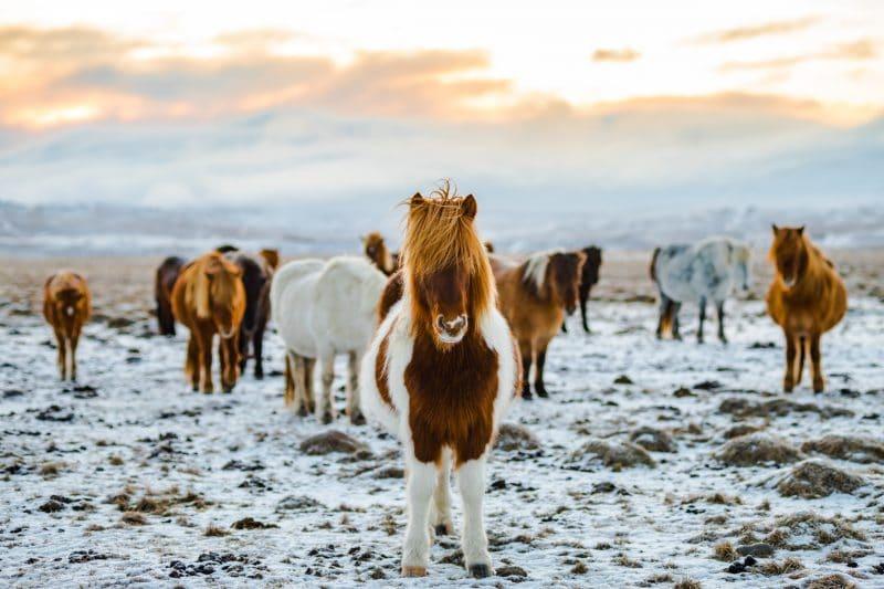 animaux Snaefellsnes Islande